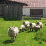 Ovce s jehňaty